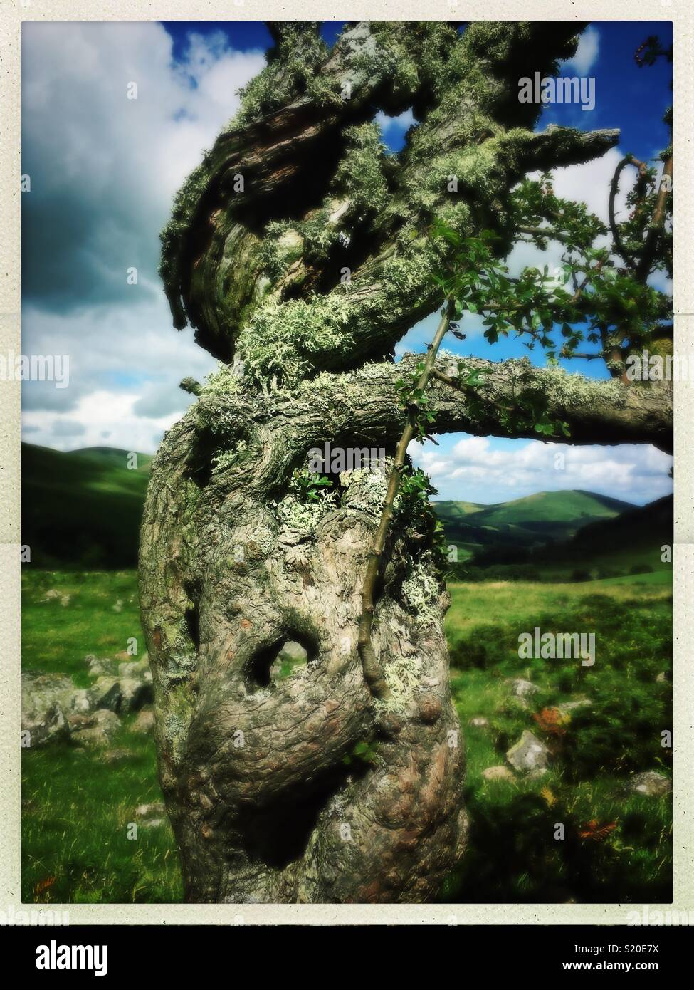 Ancient wind blown tree with contorted branches and a belly button in it's trunk - Stock Image