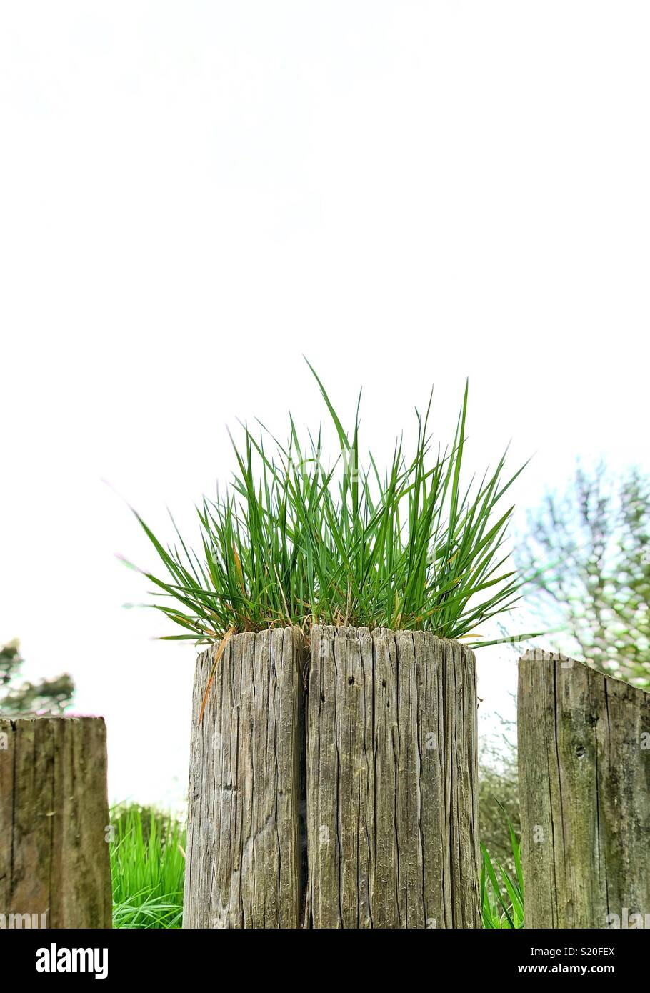 Grass growing out of the top of a fence post - Stock Image