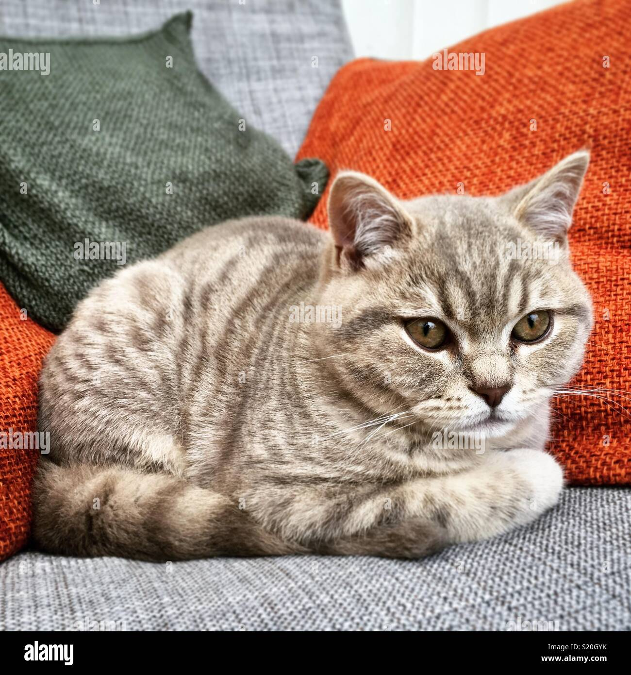 Lilac British Shorthair Cat High Resolution Stock Photography And Images Alamy