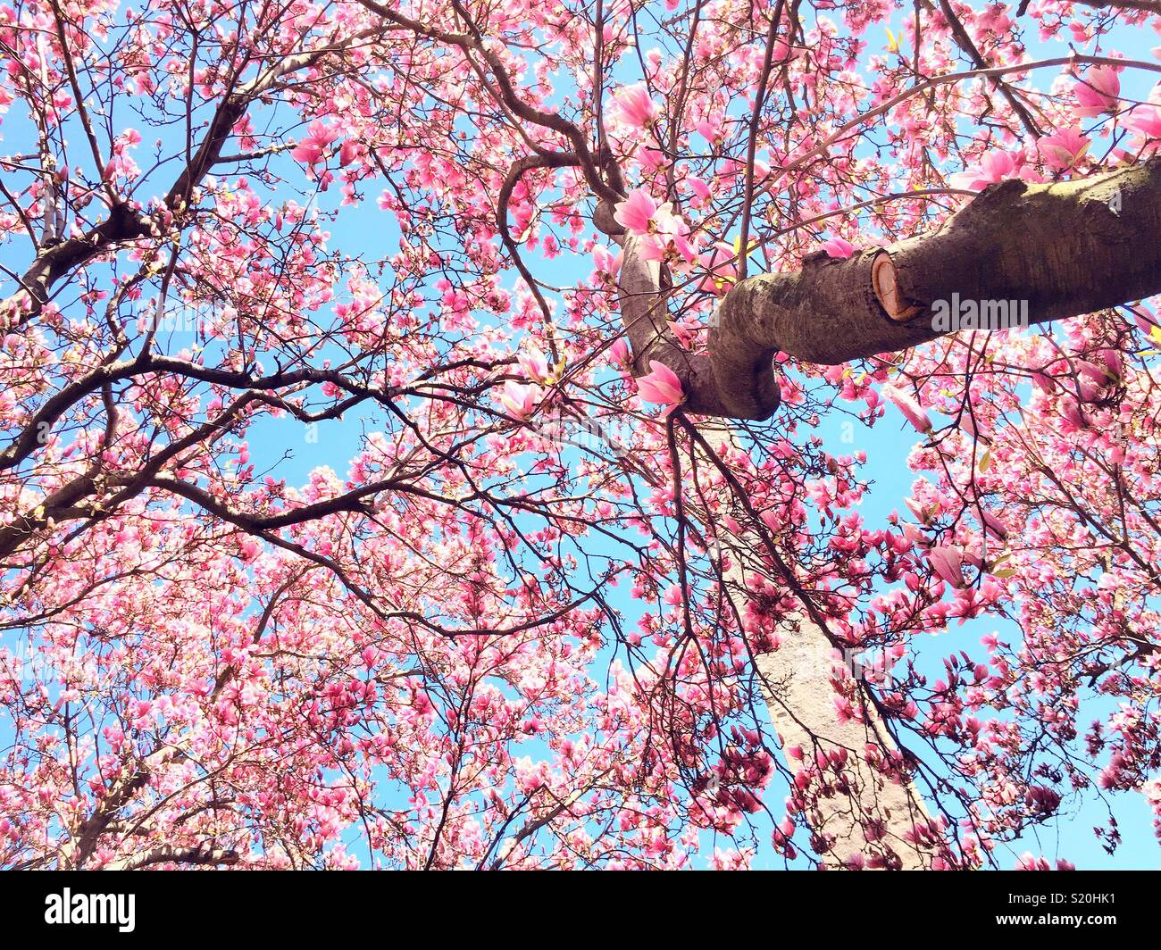Springtime at Cleopatra's needle, surrounded by pink magnolia blossoms, Central Park, NYC, USA - Stock Image