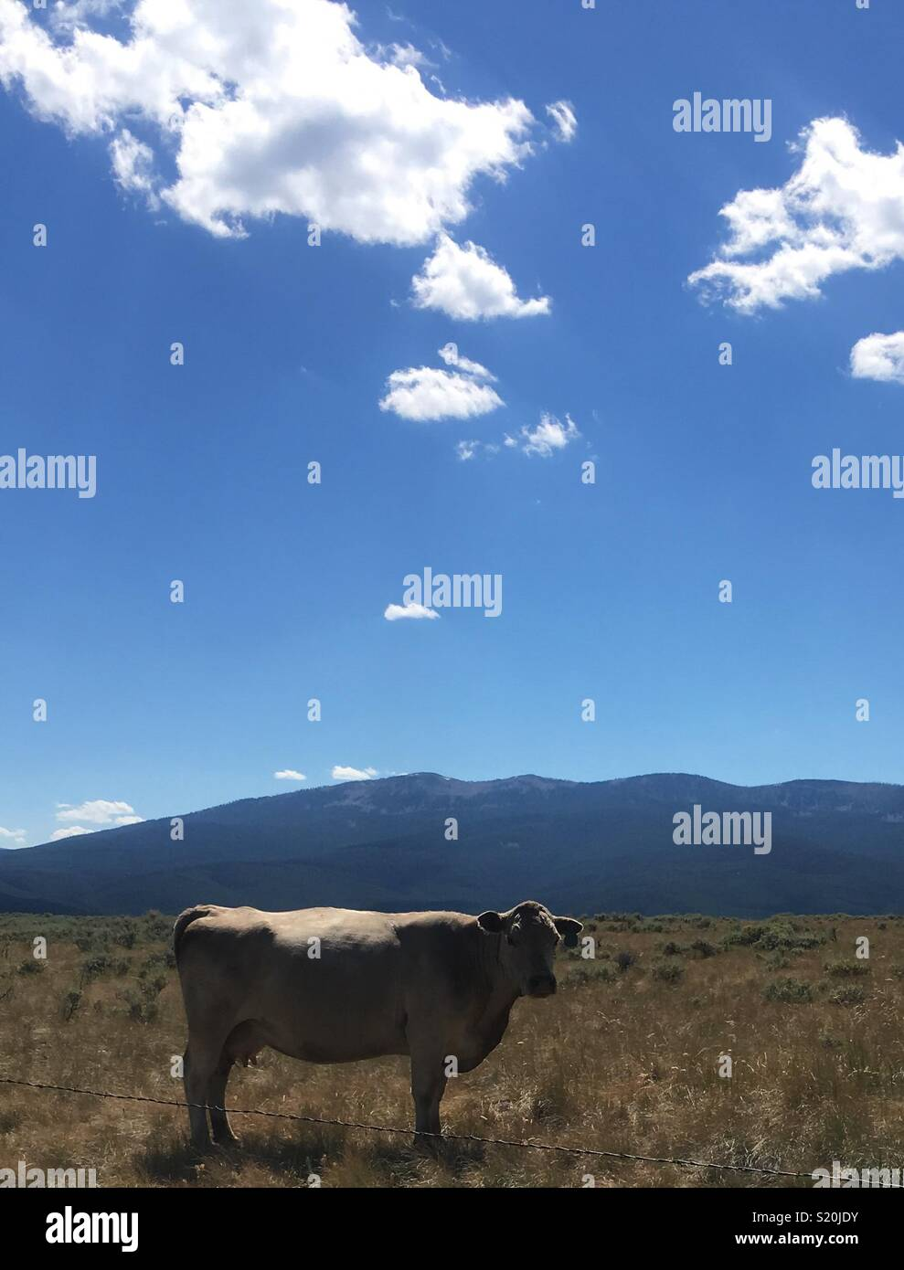Cow on top of the mountain - Stock Image