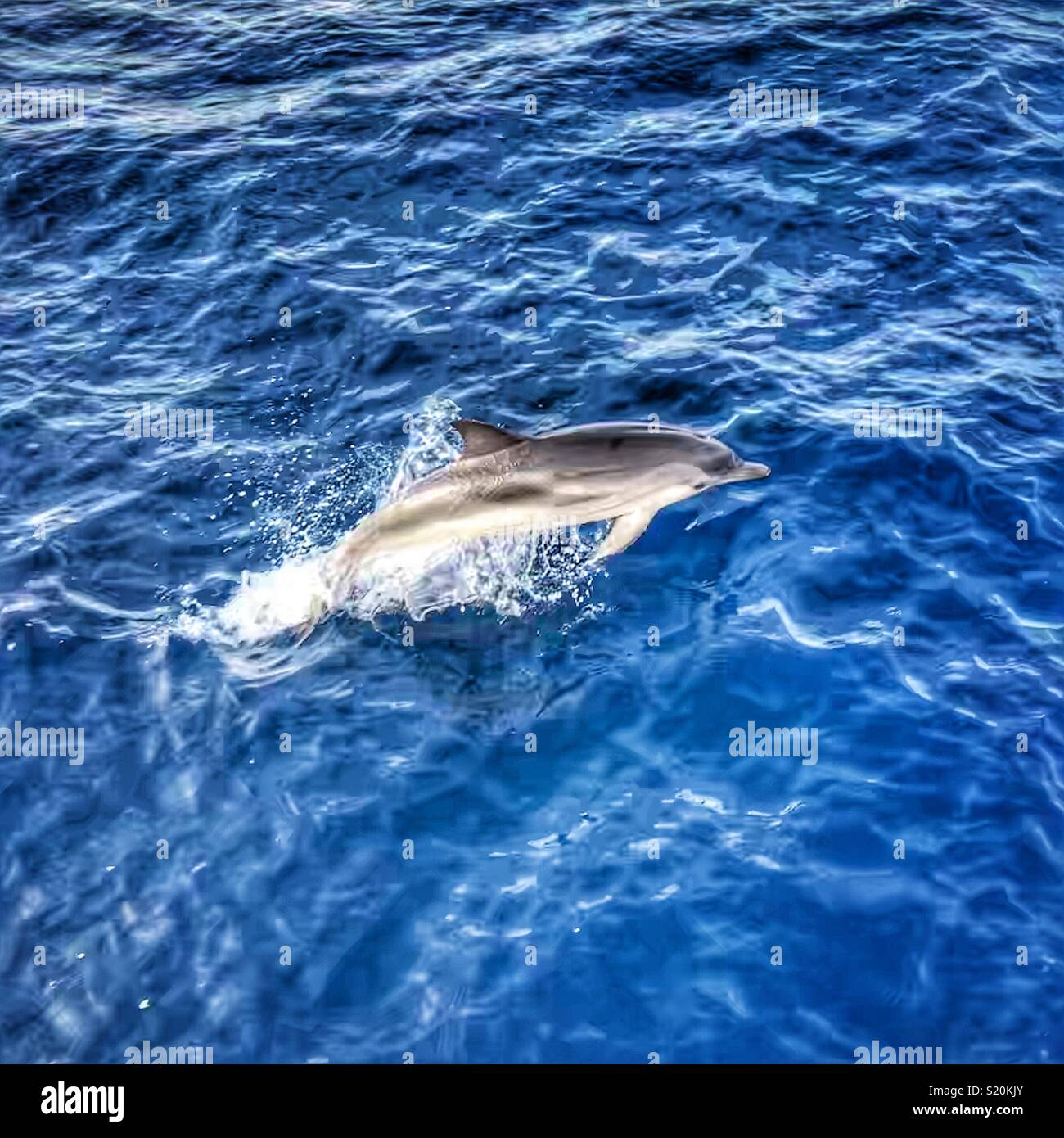 Common dolphin leaping out of the ocean - Stock Image