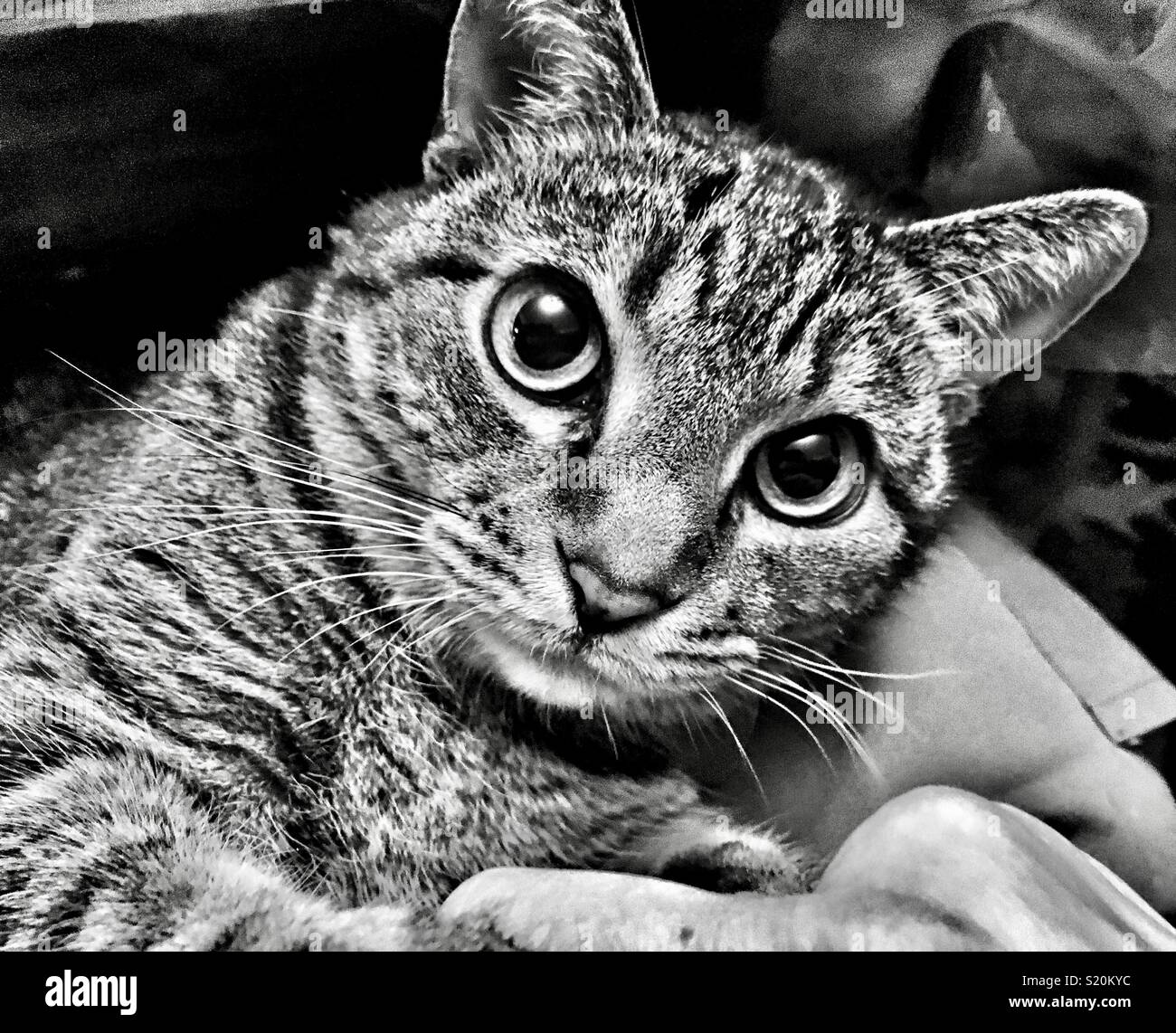 Wide-eyed cat holding owner's hand - Stock Image