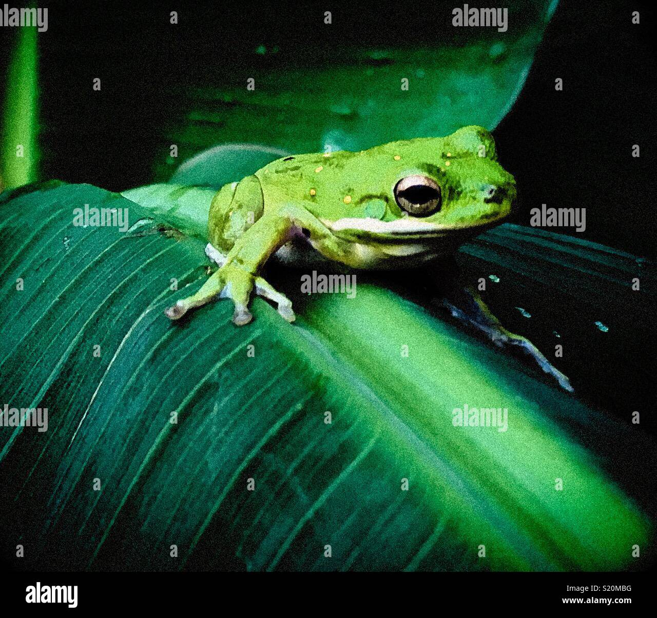 Green tree frog - Stock Image