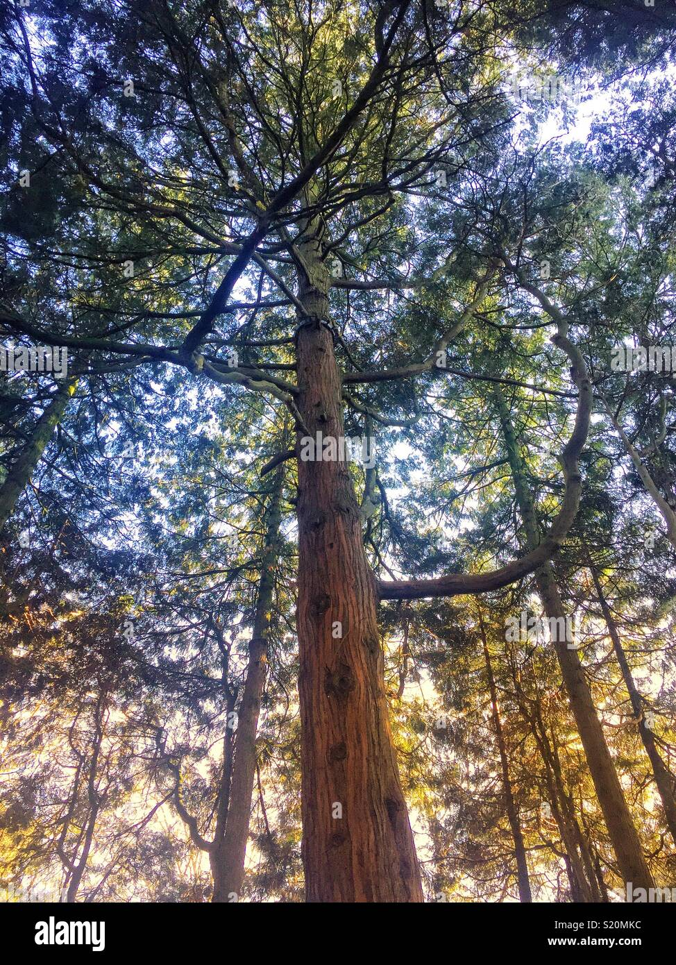 Tall trees - Stock Image