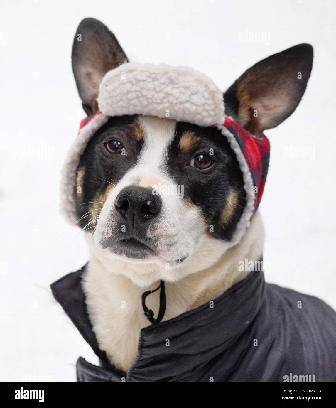In this delightful portrait of a big-ratted pup wearing a red plaid cap, the poor dog looks none too pleased. - Stock Image