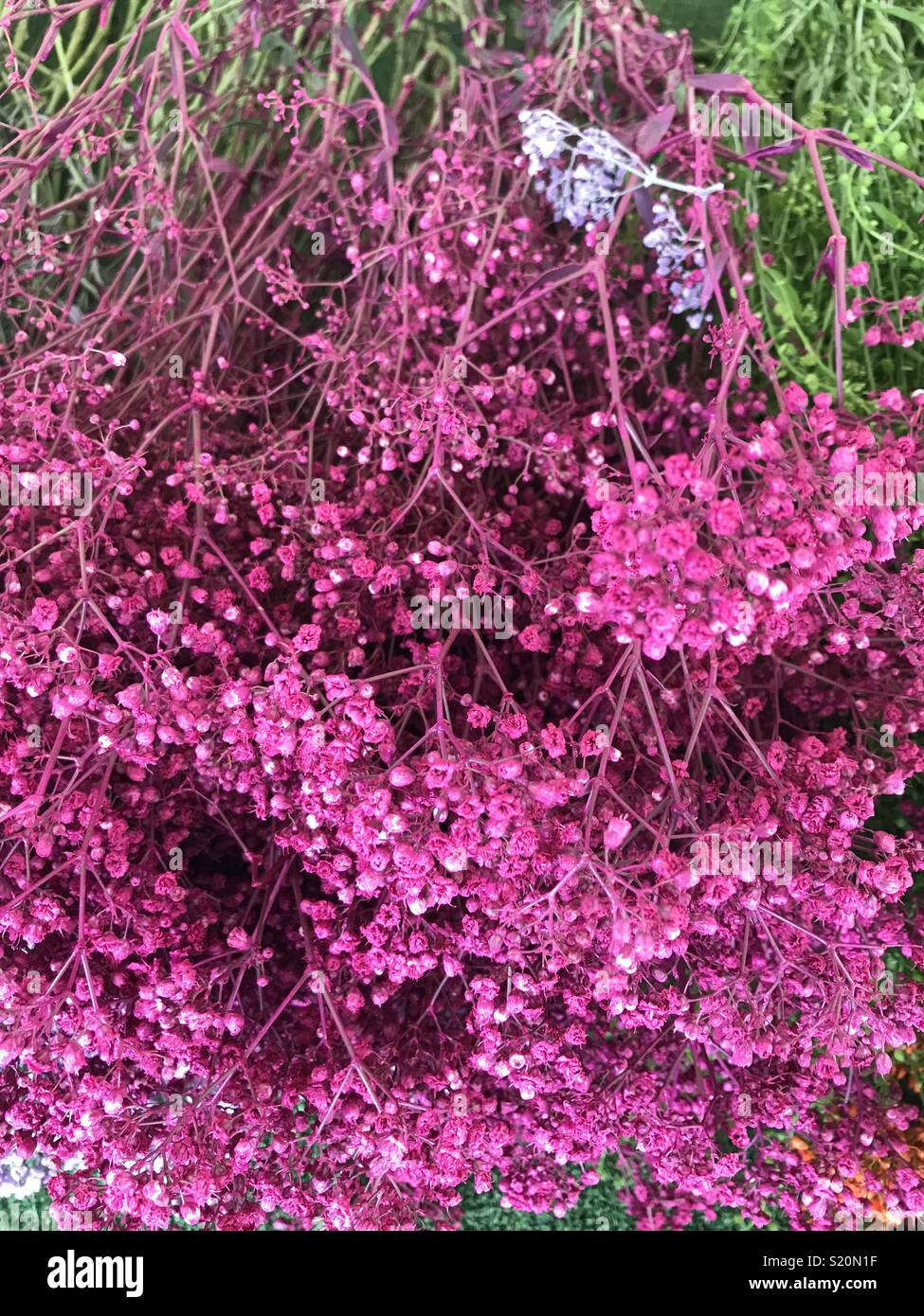 Pink Tiny Flowers Known As Babys Breath Or Gypsophila Used For
