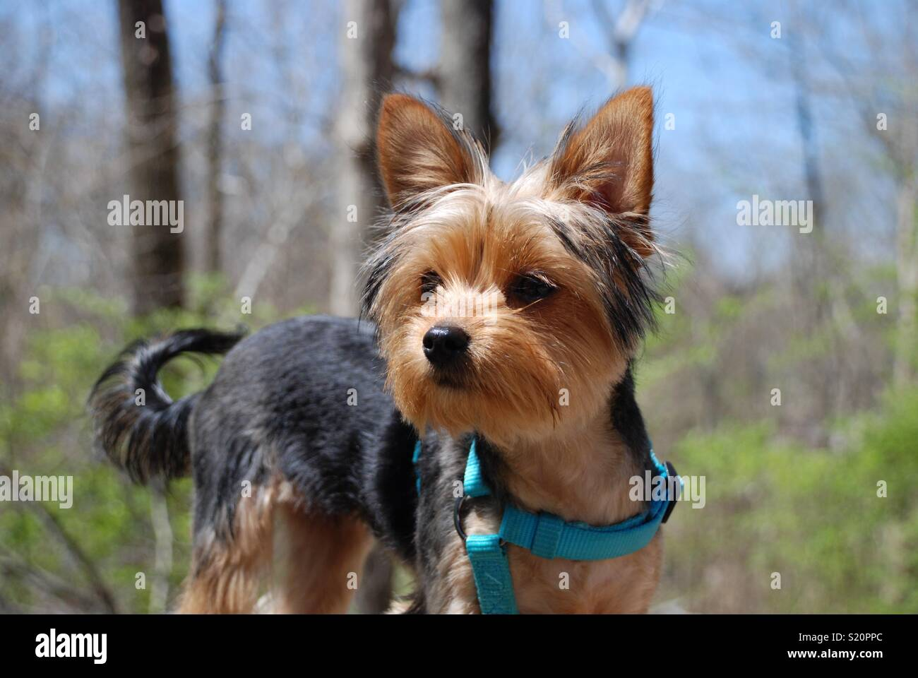 Yorkie Portrait High Resolution Stock Photography And Images Alamy