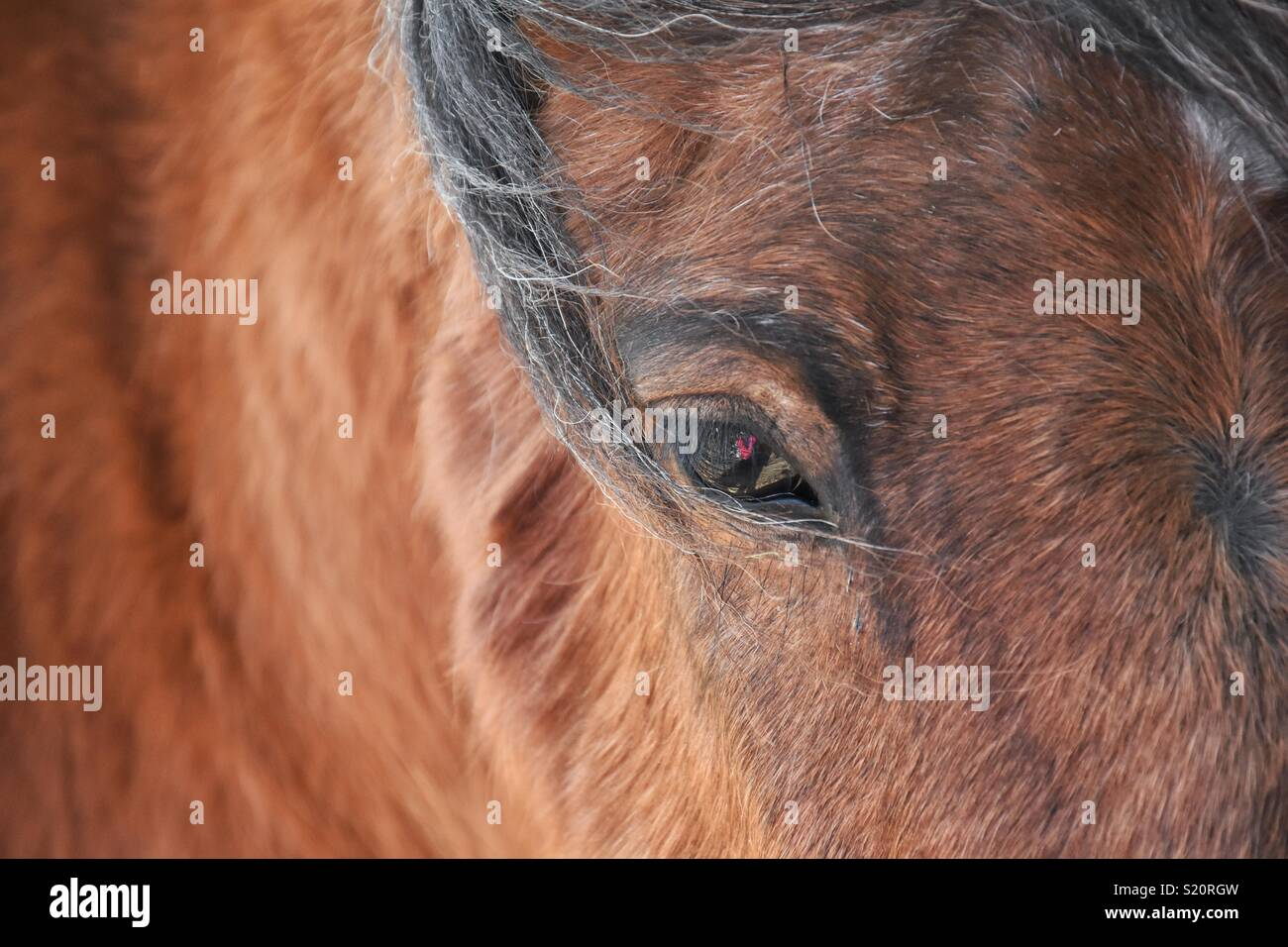 Close up of a brown horse focusing on the horses eye. - Stock Image