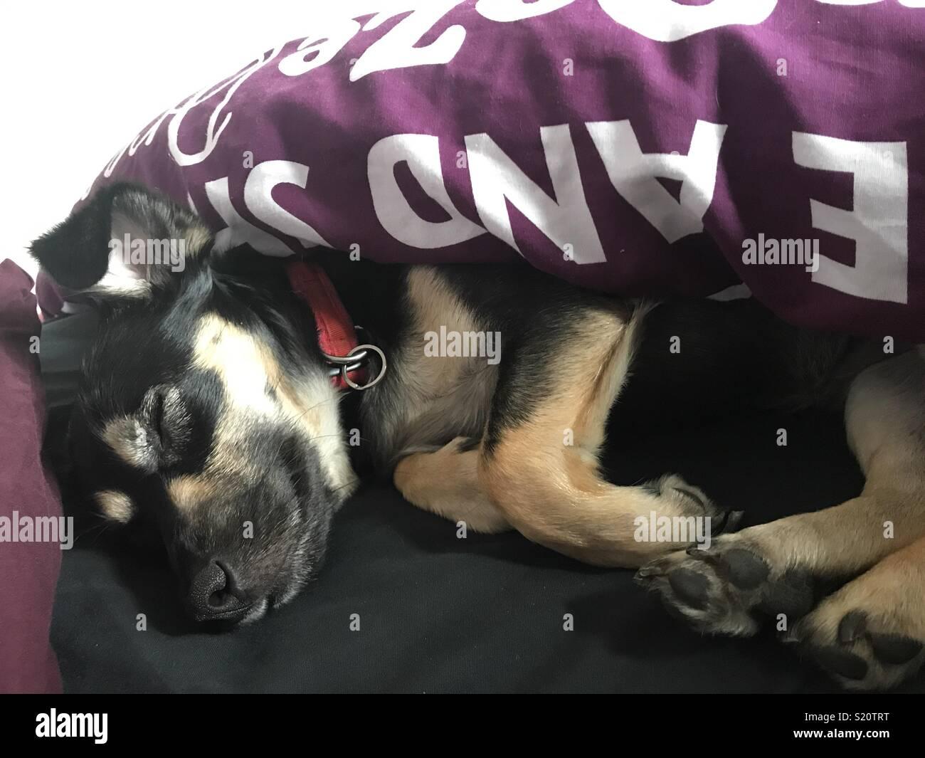 Sunday afternoon dog snooze - Stock Image
