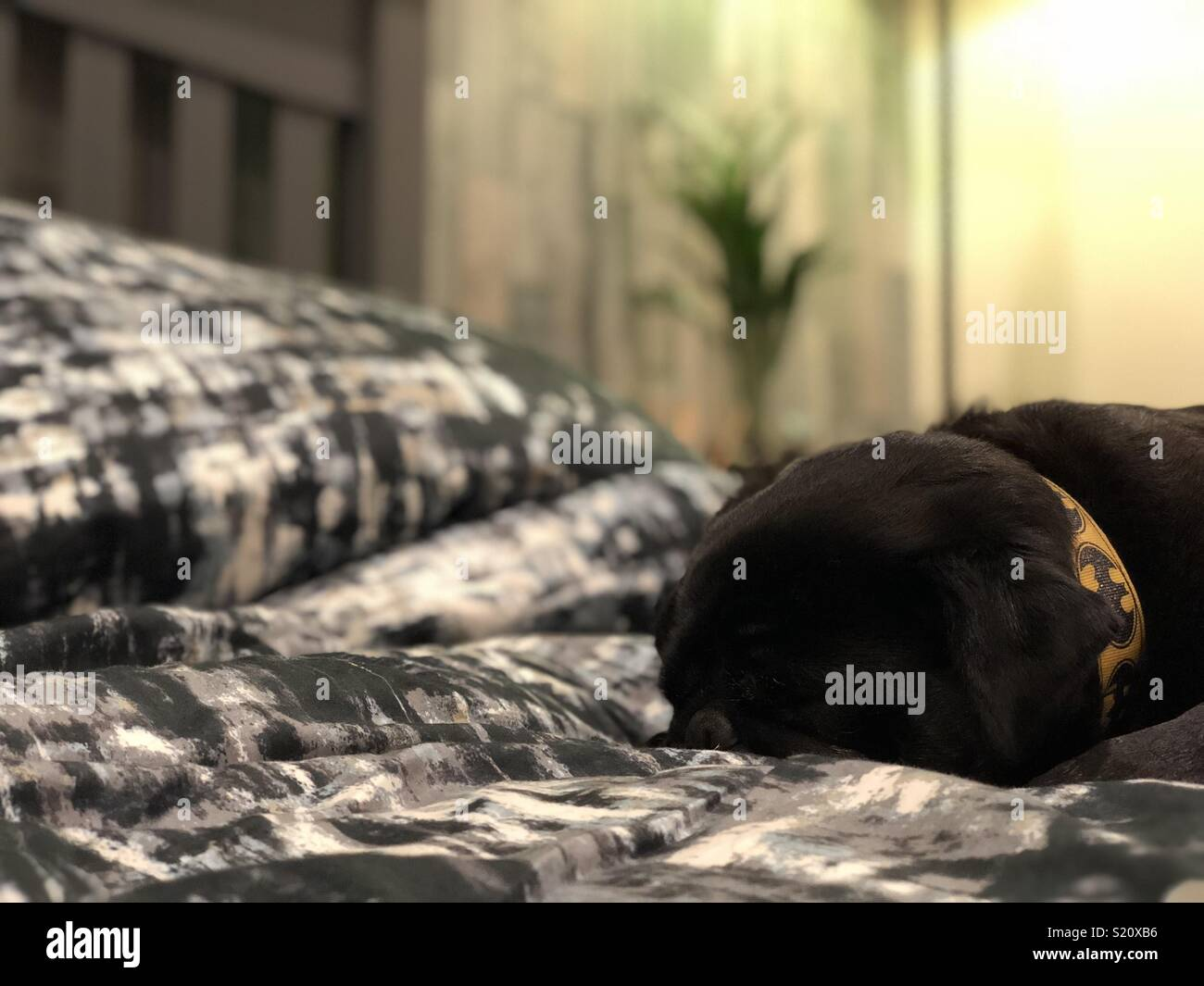 Pug on the bed - Stock Image