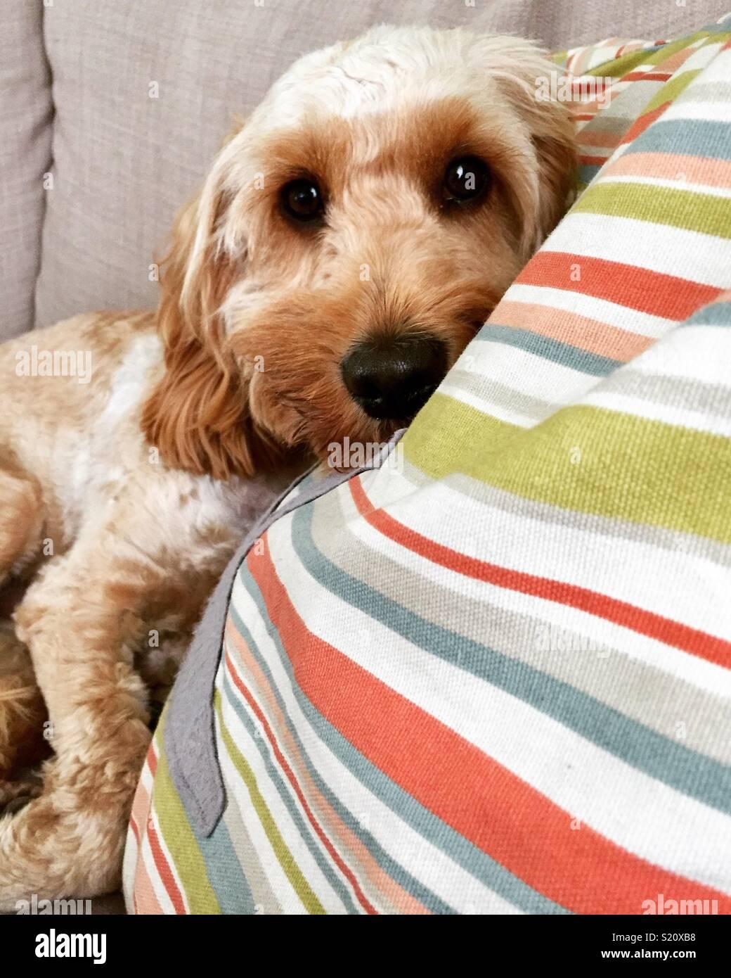 Cockapoo dog - Stock Image
