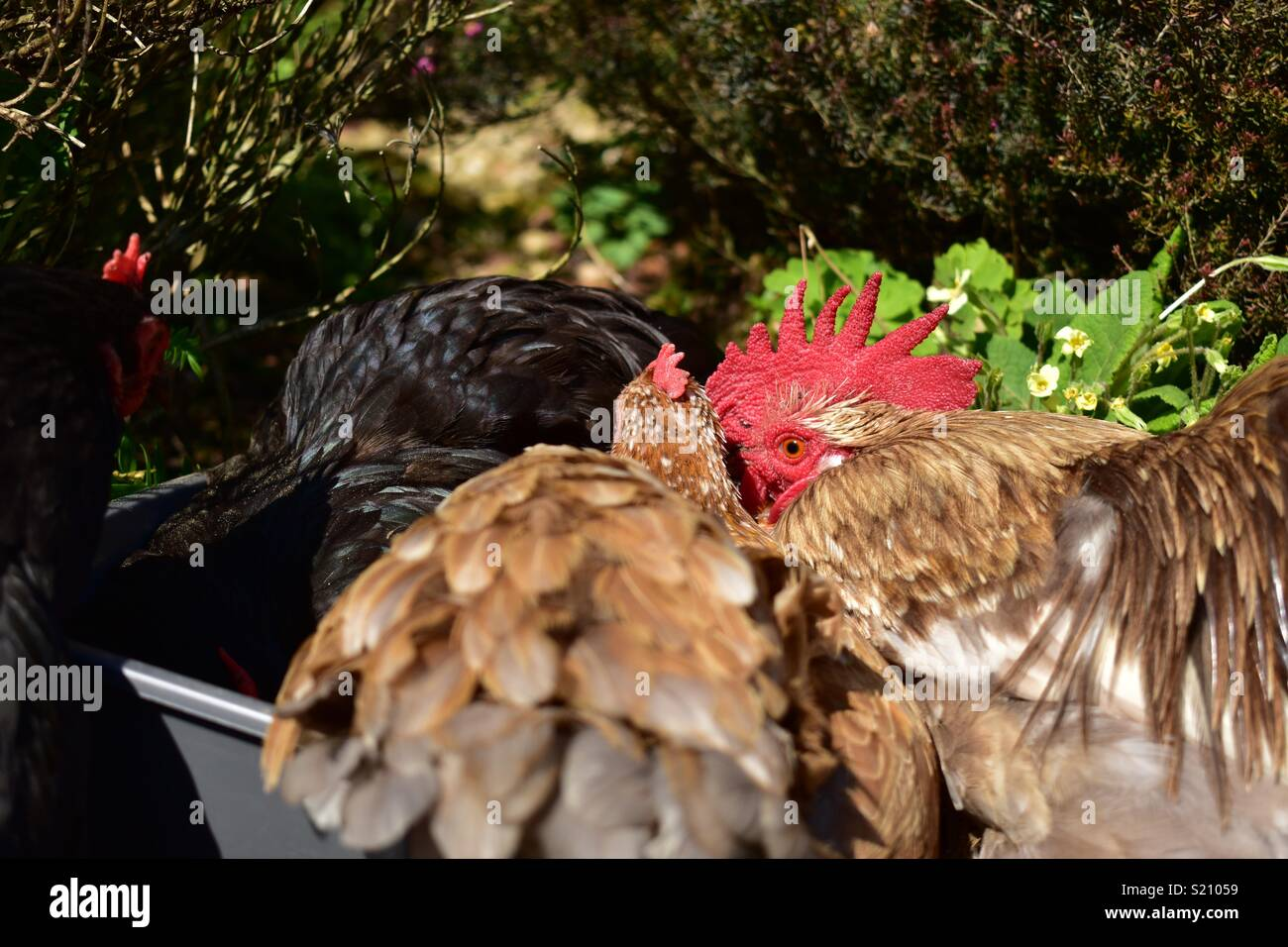 Chickens dust bathing in the garden - Stock Image
