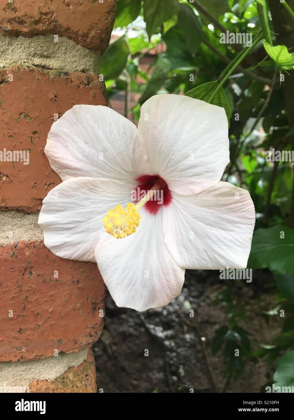 White Hibiscus Flower Stock Photo 311038325 Alamy