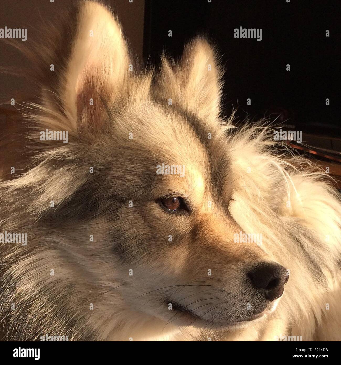 Fluffy dog in the sun light - Stock Image