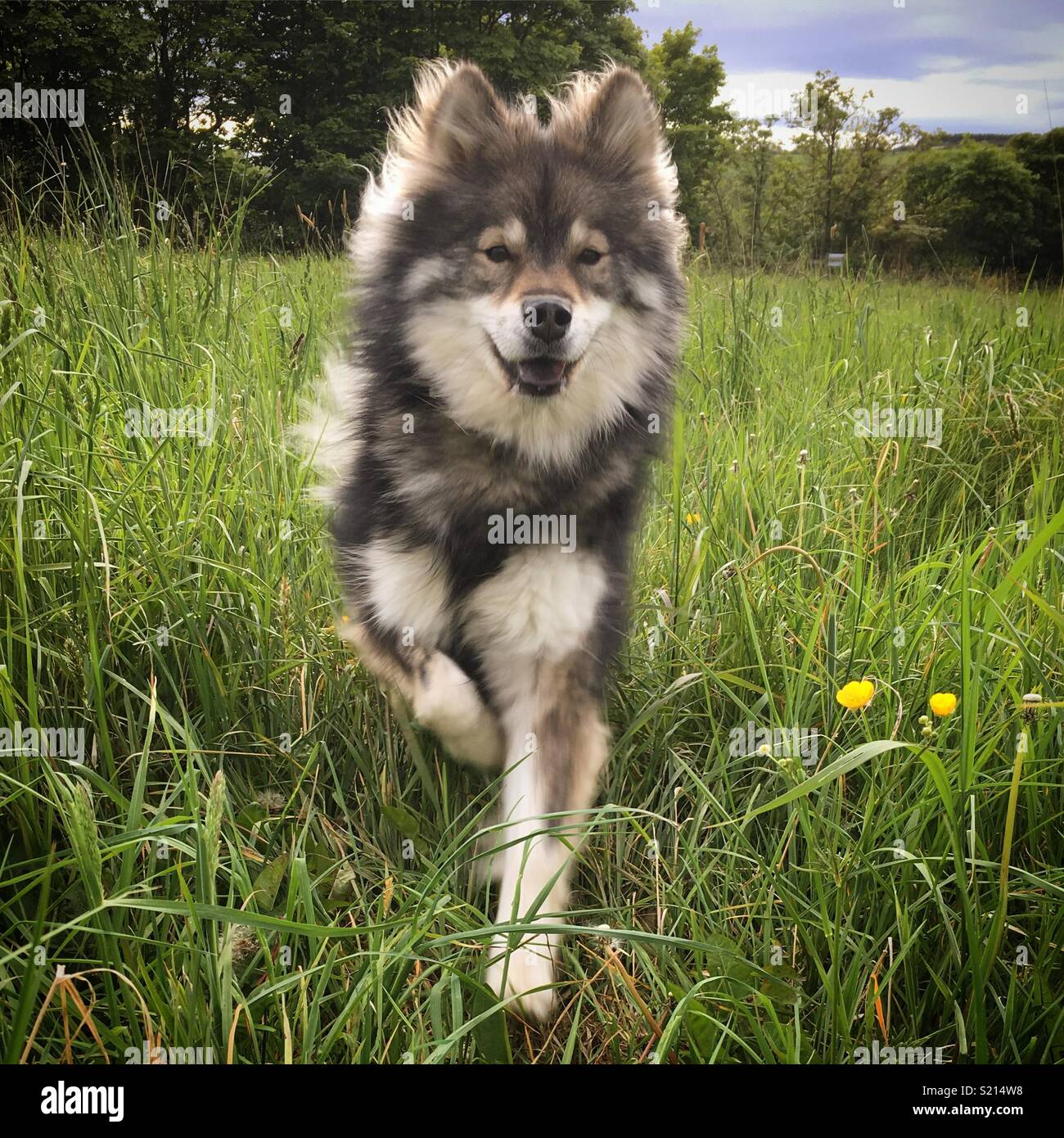 Fluffy dog running through the meadow - Stock Image