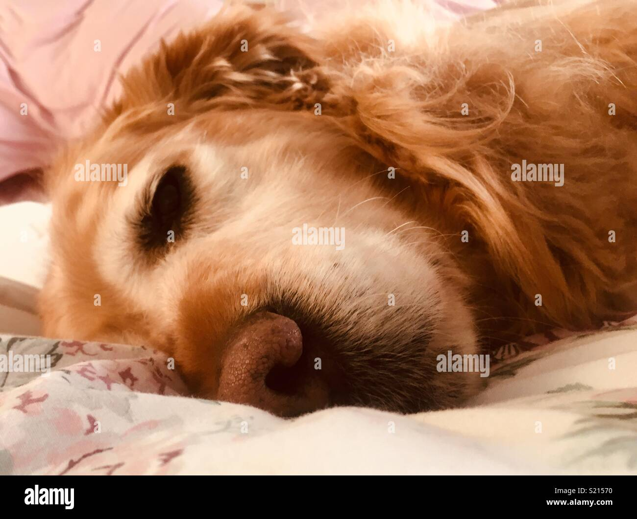 Snoozing pup - Stock Image