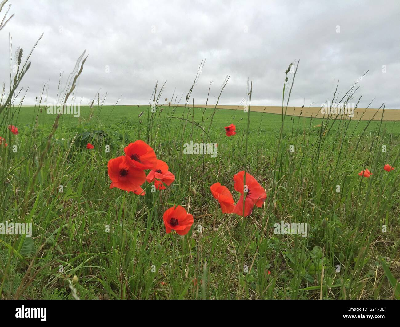 Somme Poppy Field Stock Photos Somme Poppy Field Stock Images Alamy