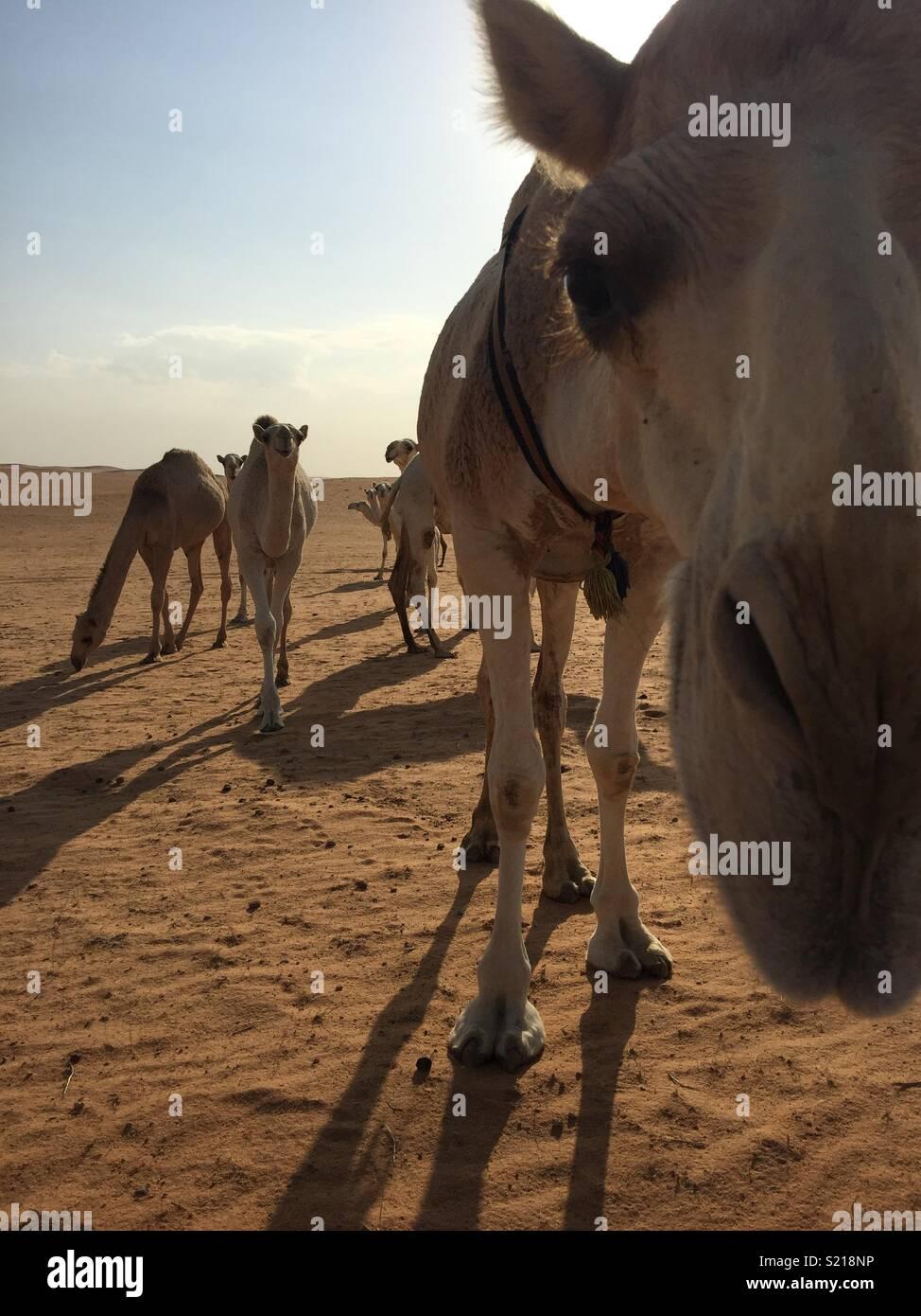 Inquisitive camel. - Stock Image