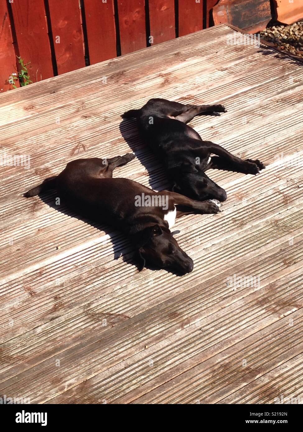 Sleeping patterdale terriers - Stock Image