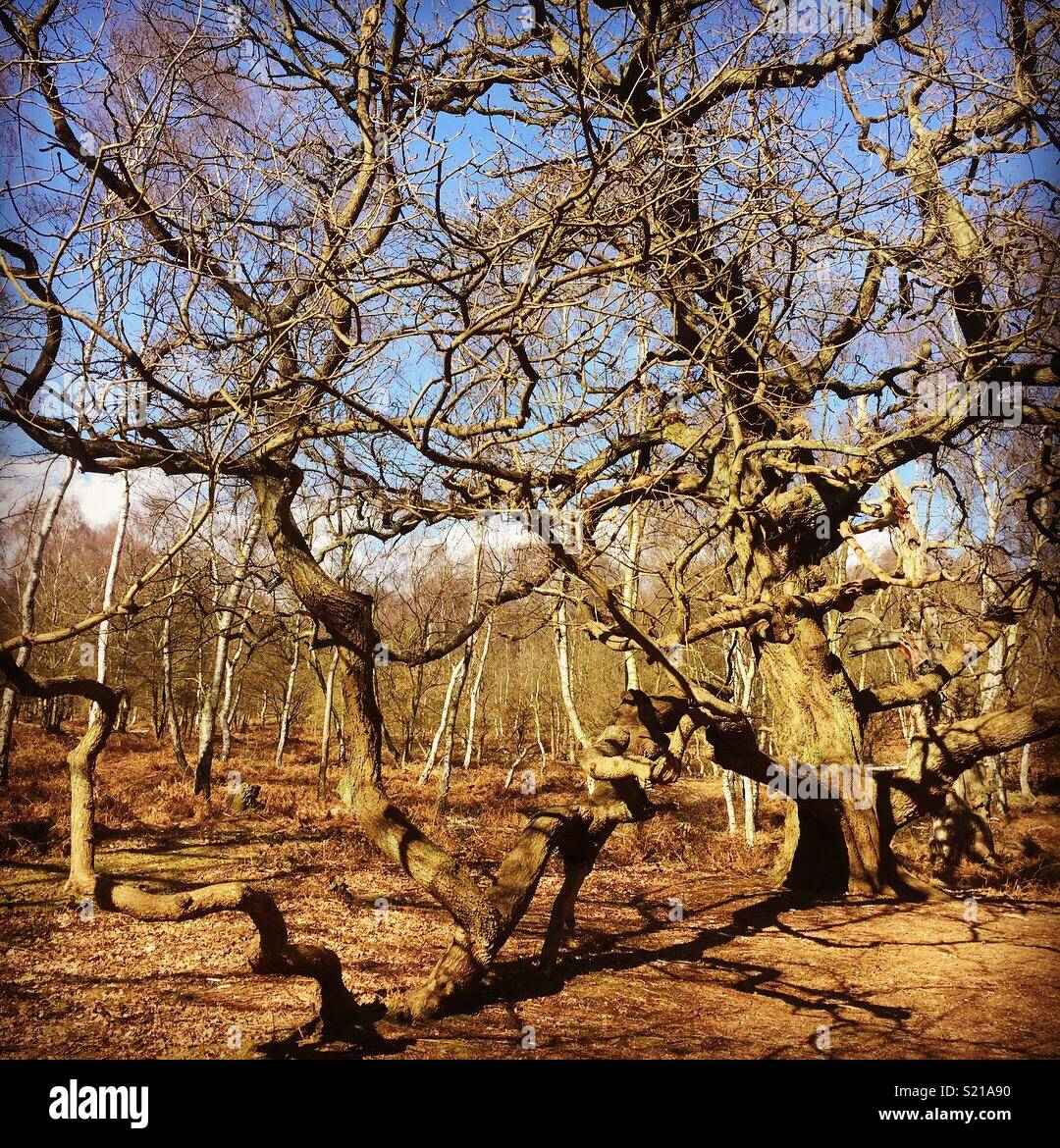 Photo taken in Sherwood Forest on a beautiful spring day. Very close the the famous major oak! Stock Photo