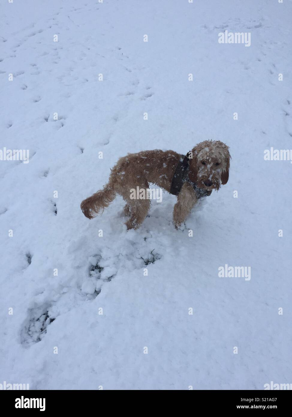 Puppy in the snow - Stock Image