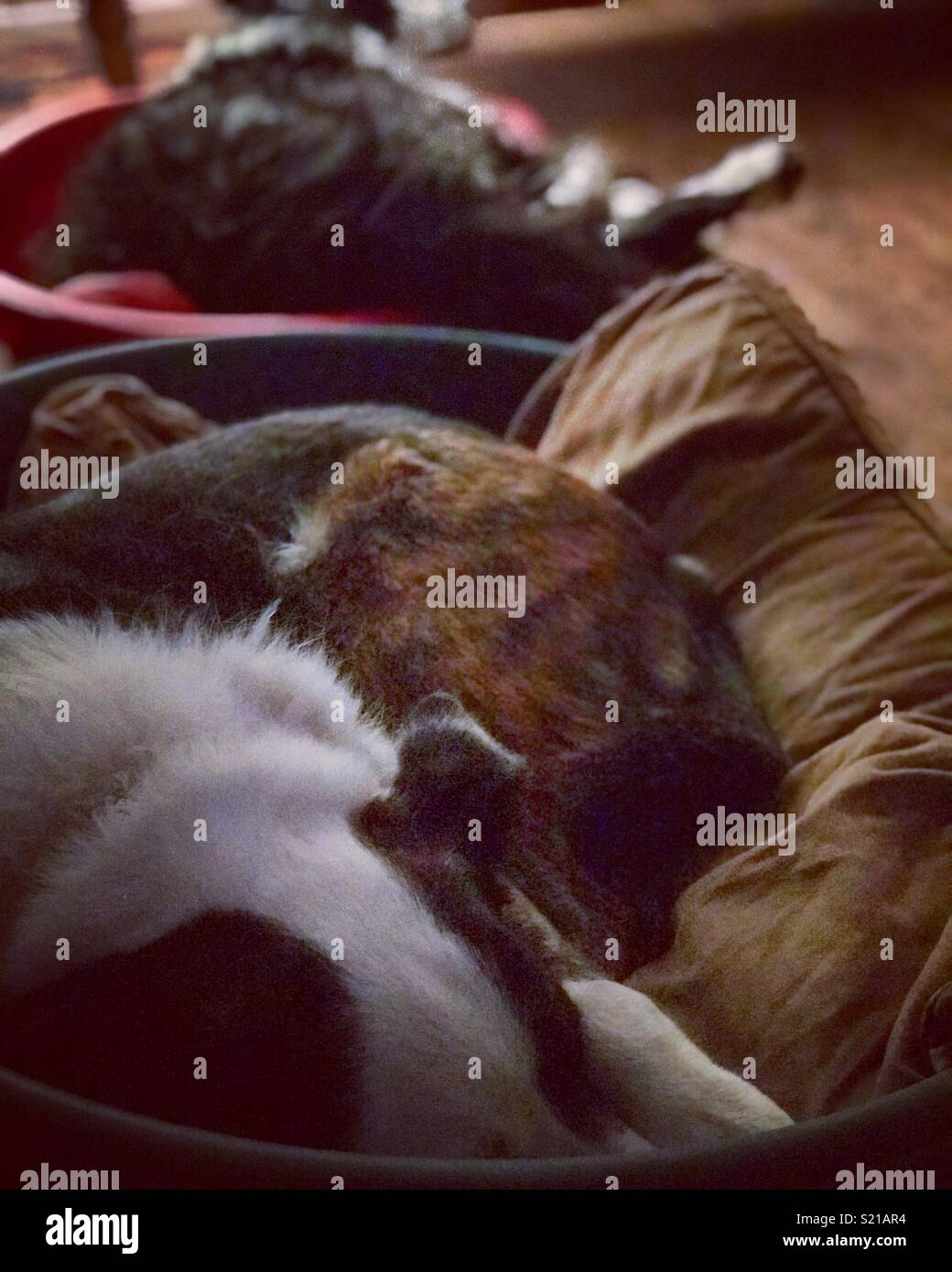 Sleeping dogs - Stock Image