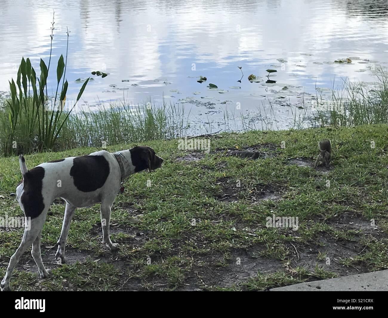 Pointer and squirrel stand off - Stock Image