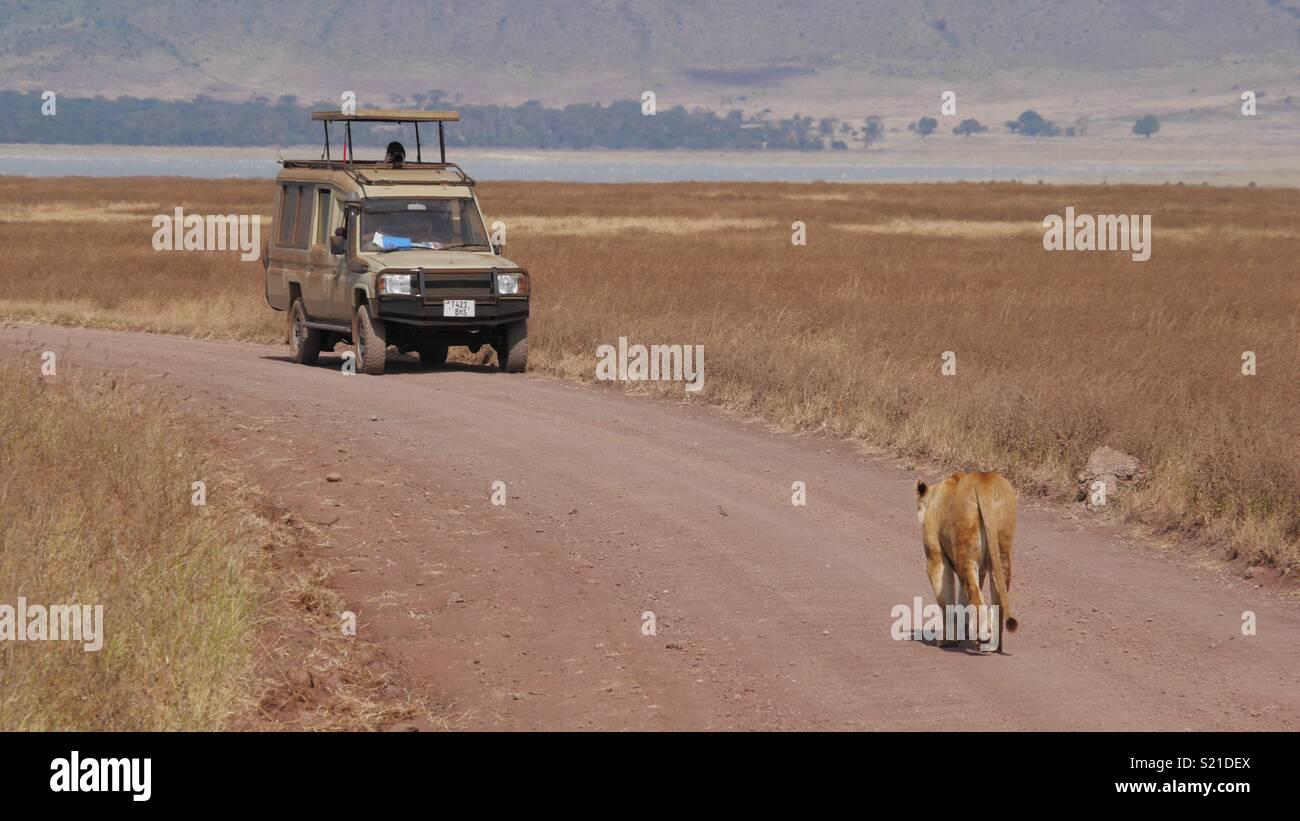 Lion on safari - Stock Image