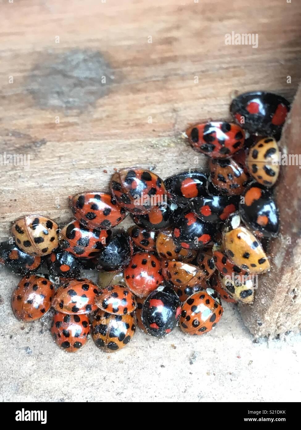Ladybirds hibernating Stock Photo