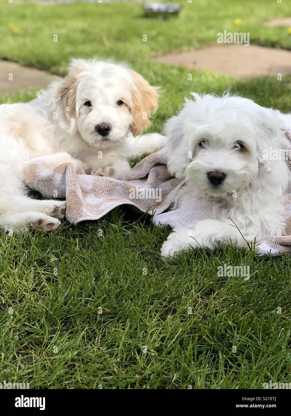 Cockapoo puppies - Stock Image
