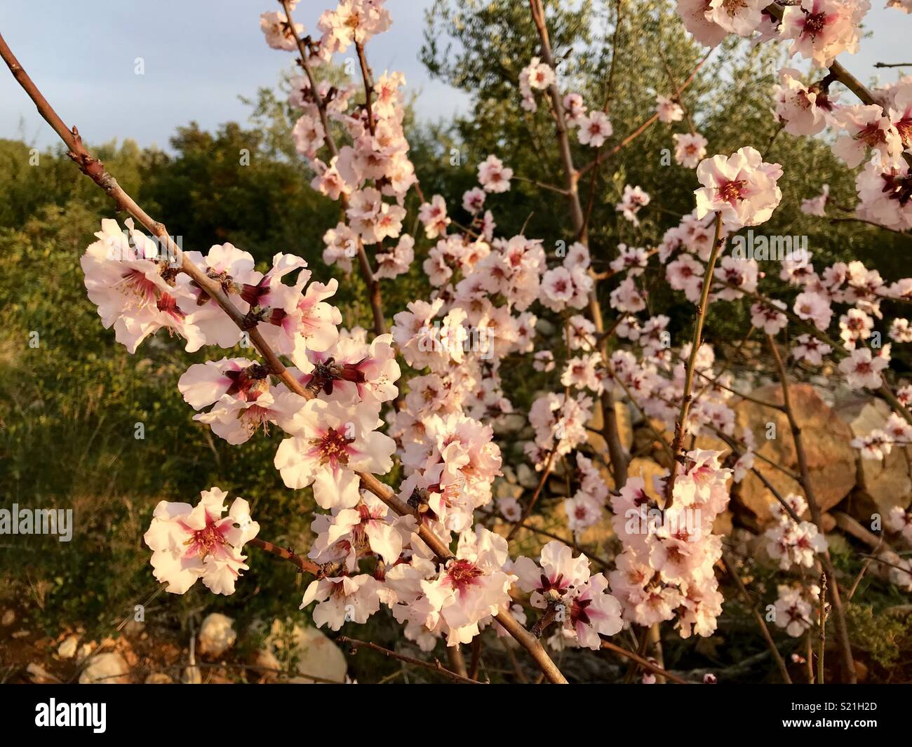Almond blossom in Spain Stock Photo