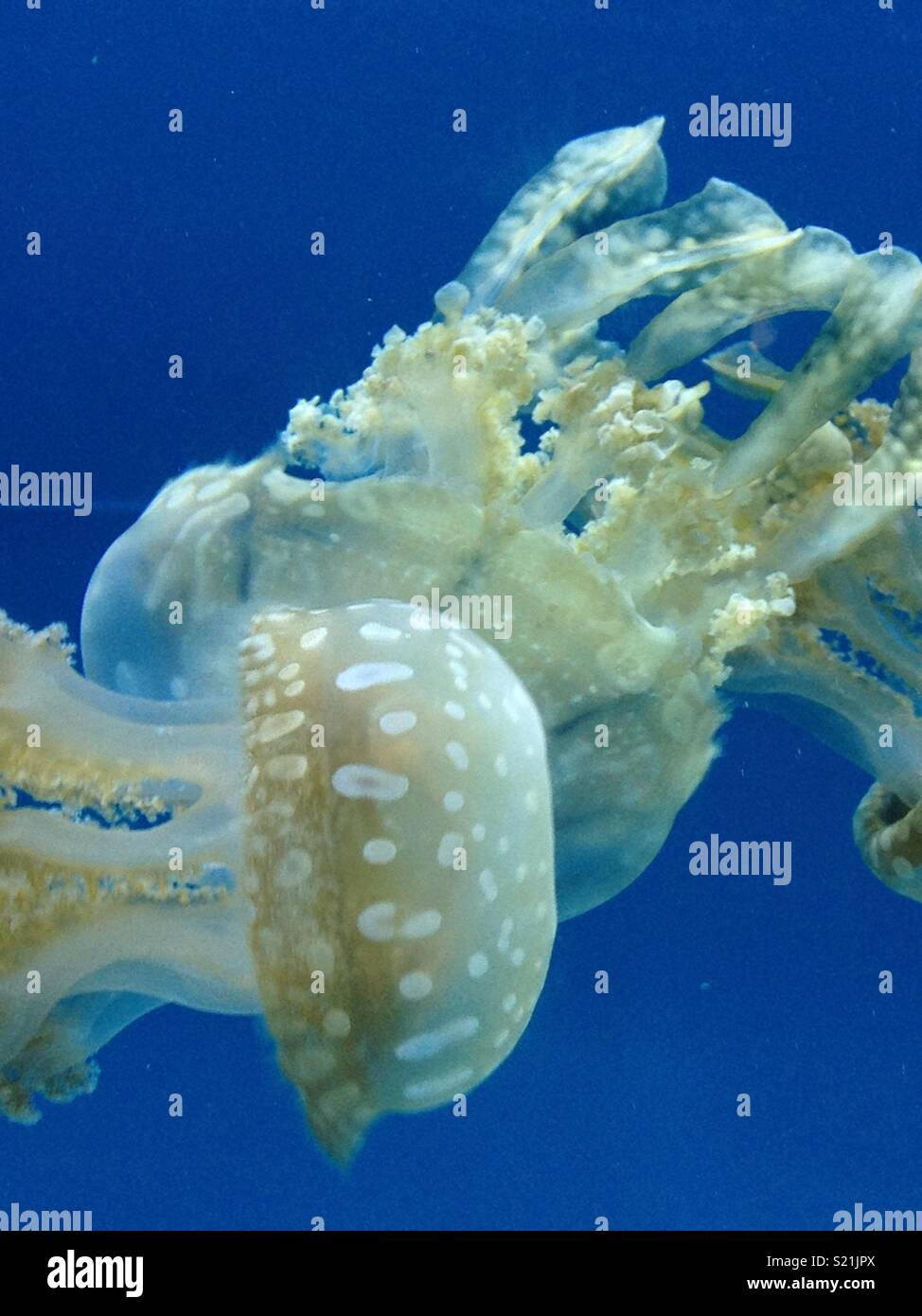 Jellyfish - Stock Image