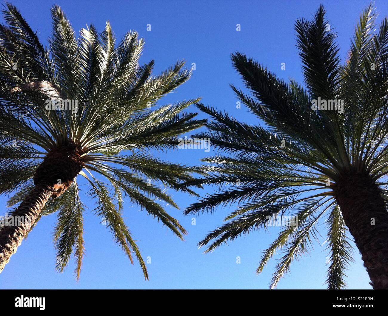 las vegas palm trees stock photo 311055797 alamy