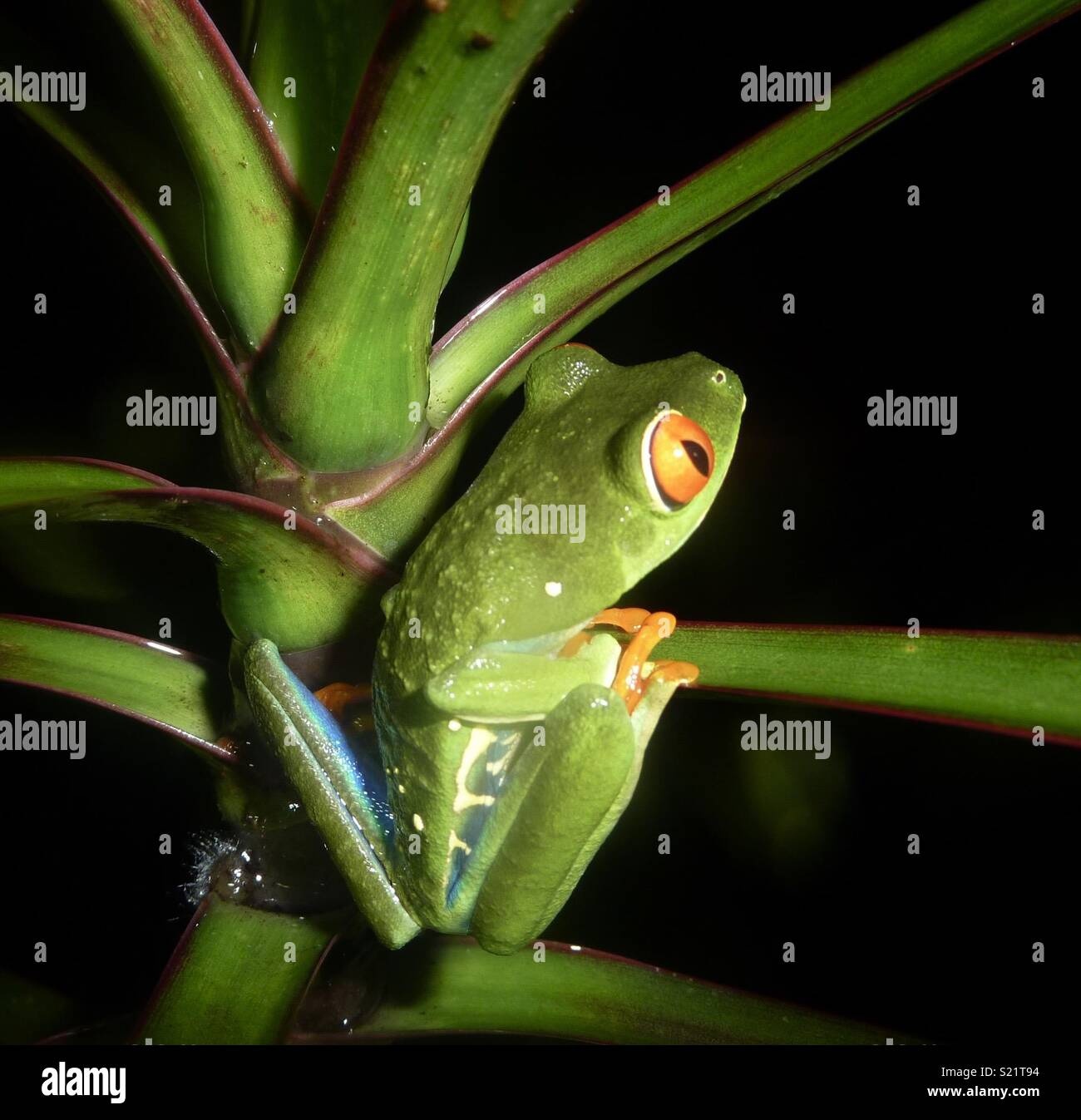 Costa Rican red eyed tree frog in Monteverde rain forest - Stock Image