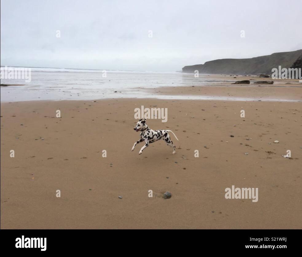 Dalmatian on the beach - Stock Image
