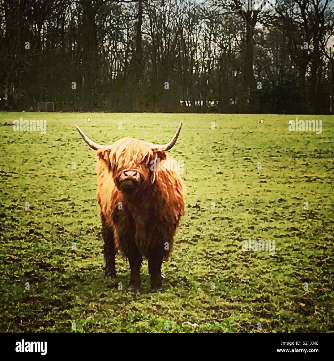 Hamish the cow - Stock Image