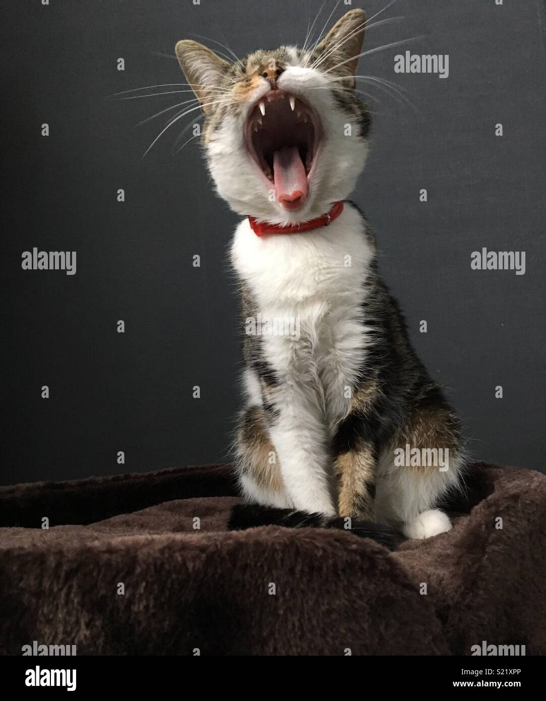 Sitting cat yawning - Stock Image