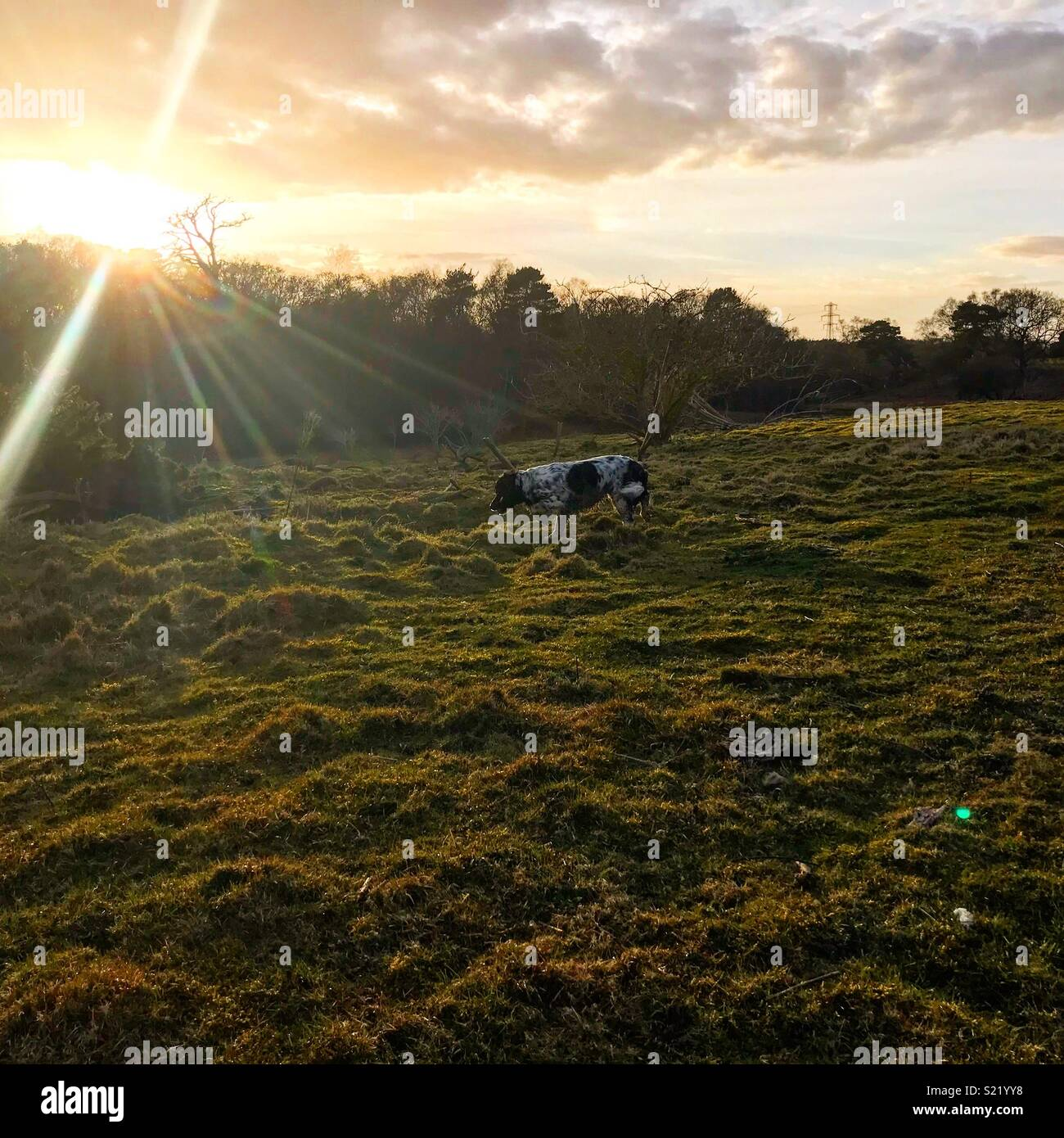 Sunset over fields dog walking - Stock Image