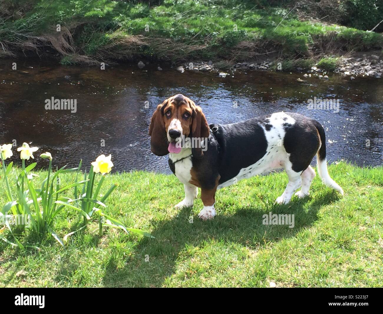 Daisy the basset hound enjoying a riverside spring walk in Londonderry. - Stock Image