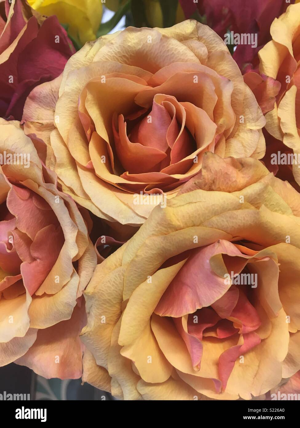 Two tone roses - Stock Image
