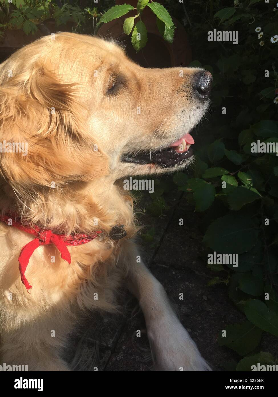 Golden retriever in summer - Stock Image