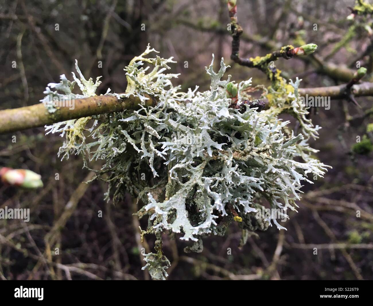 Lichen grows where air is purest Stock Photo