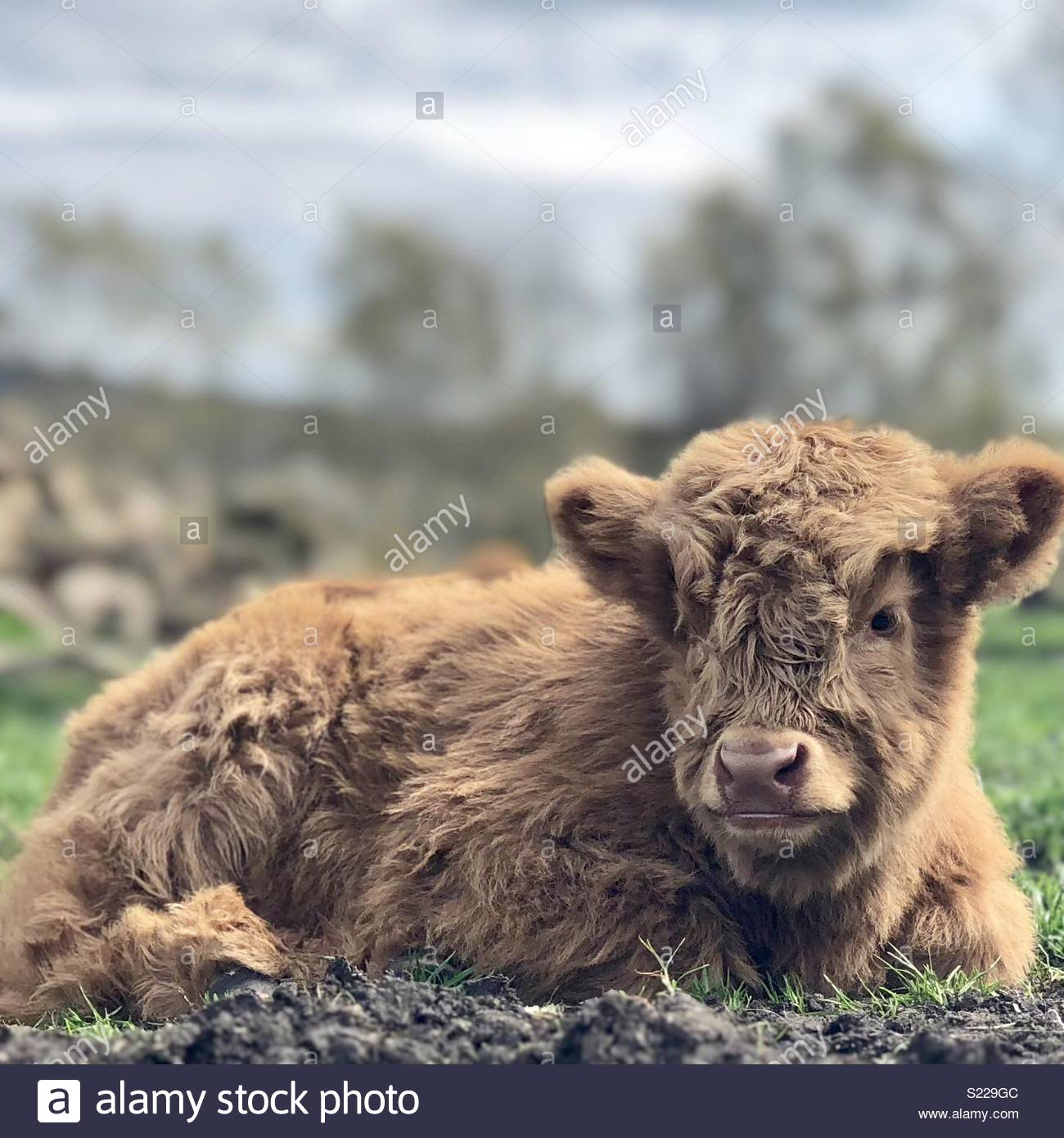 Highland cattle calf - Bos taurus - Stock Image