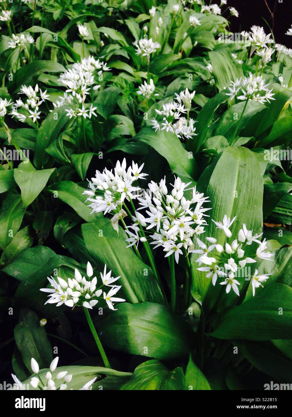 Wild Garlic in bloom - Stock Image