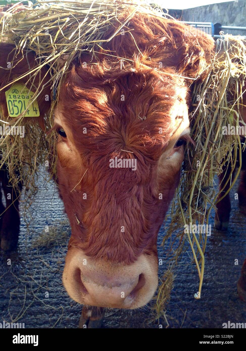 Comical cow with hairs. - Stock Image