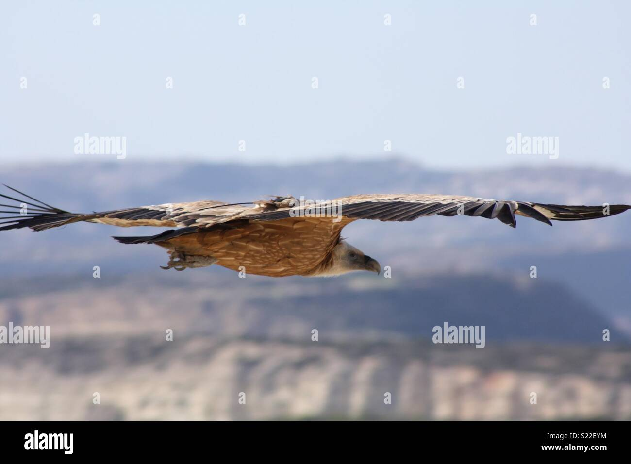 Griffin vulture Cyprus Stock Photo