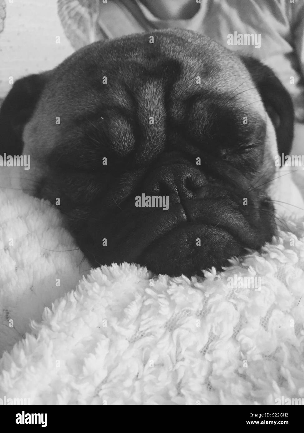 Pug snooze - Stock Image