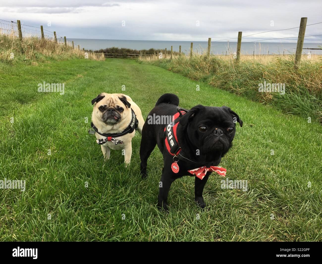 Pugs on tour - Stock Image