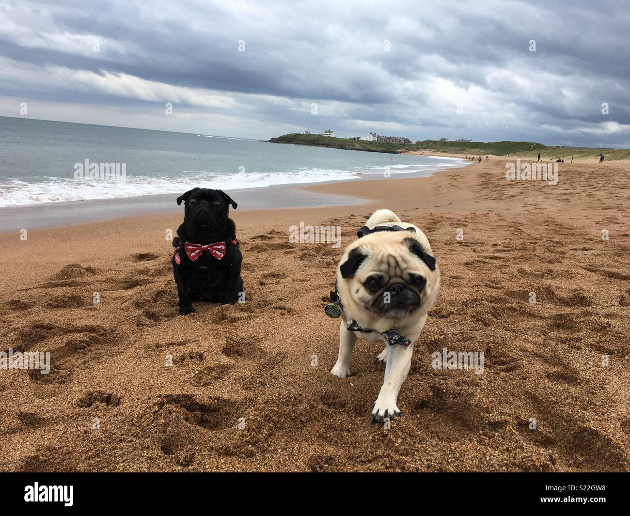 Pugs at the beach - Stock Image